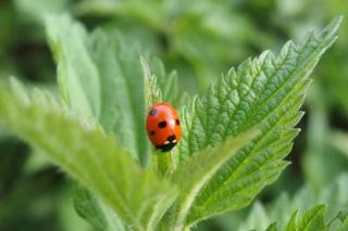 Tomato plant ally: nettle attracts beneficial insects