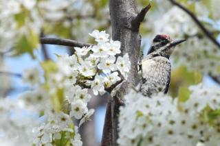 Watchful observation on invasive bradford pear