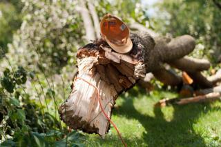 Brittle wood of the bradford tree often breaks
