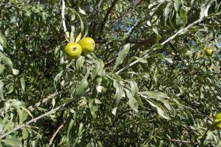 Fruits on a Pyrus salicifolia pendula