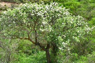 Willow-leaf pear tree growing 10 feet tall