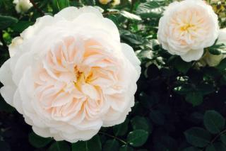 White double flower of the Albrighton rambler rose
