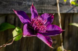 Clematis with beautiful flowers