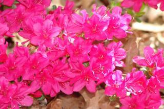 Azalea encore flower
