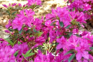 Luminous blooming for the Encore Azalea flower