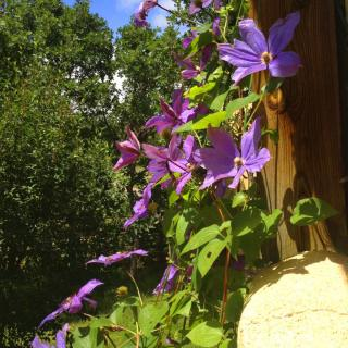 Tall clematis with abundant blooming