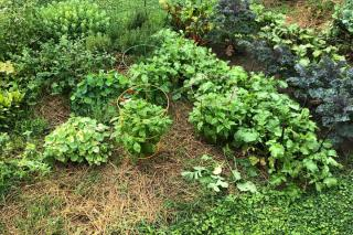 Mulching with lawn clippings