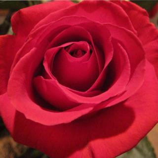 Edith Piaf rose variety