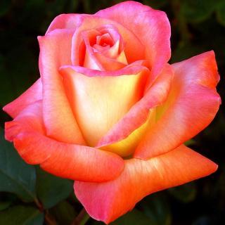 Parfum de Grasse flower lives up to its fragrant rose name