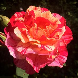 The vanille fraise is a very odoriferous rose tree variety