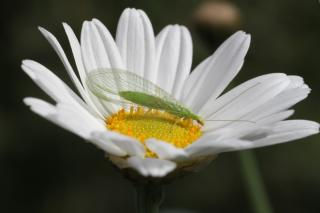 Green lacewing adult on flower