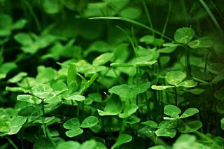 Green manure such as clover to correct basic/alkaline soil