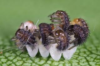 Ladybug larvae hatching