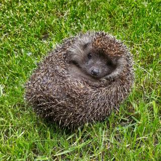 Hedgehog all curled up into a ball