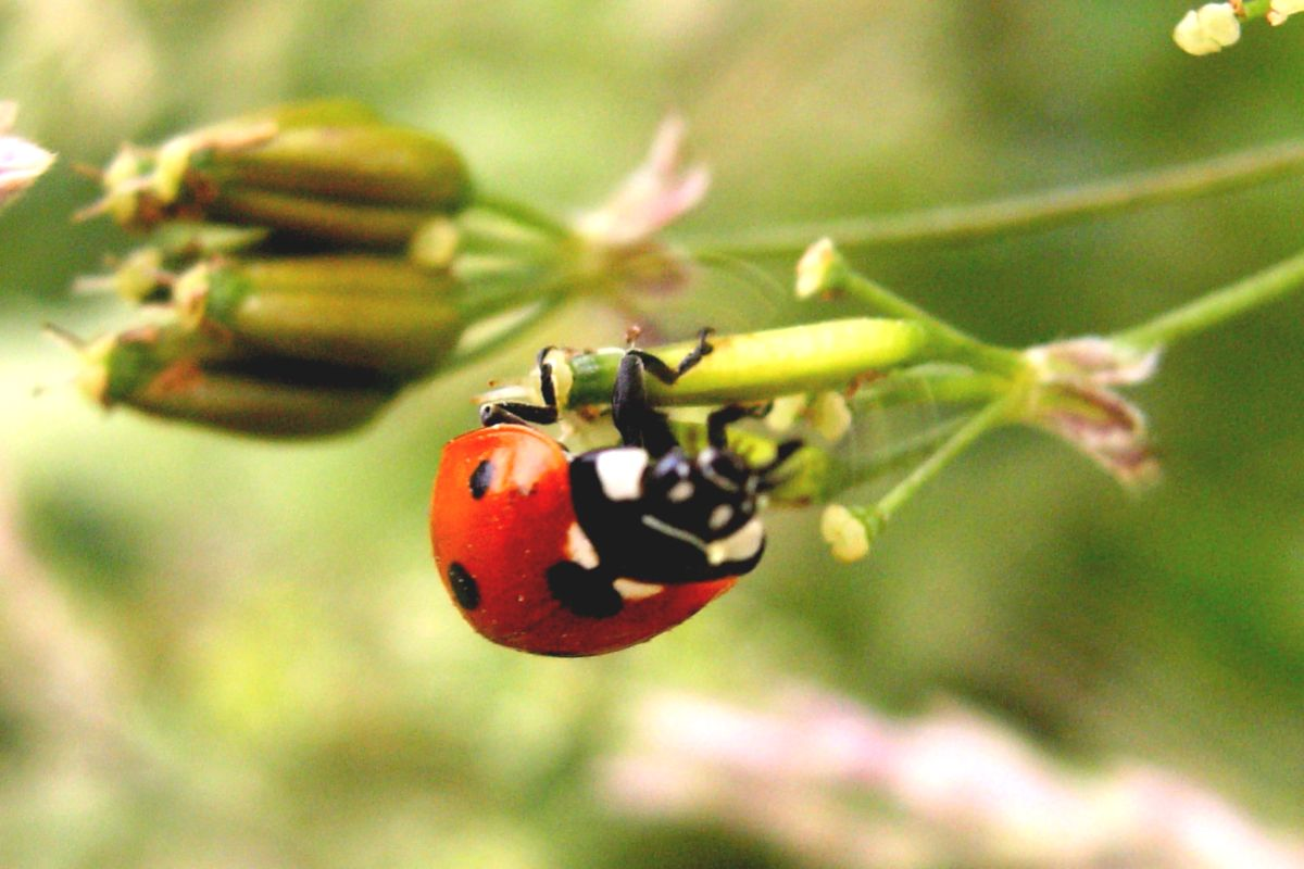 Ladybug: the lifecycle of this precious garden assistant