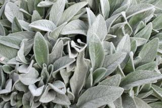 Stachys, or lamb's ear plant, has fuzz on its leaves