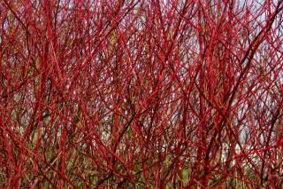 Winter flower bed with red dogwood