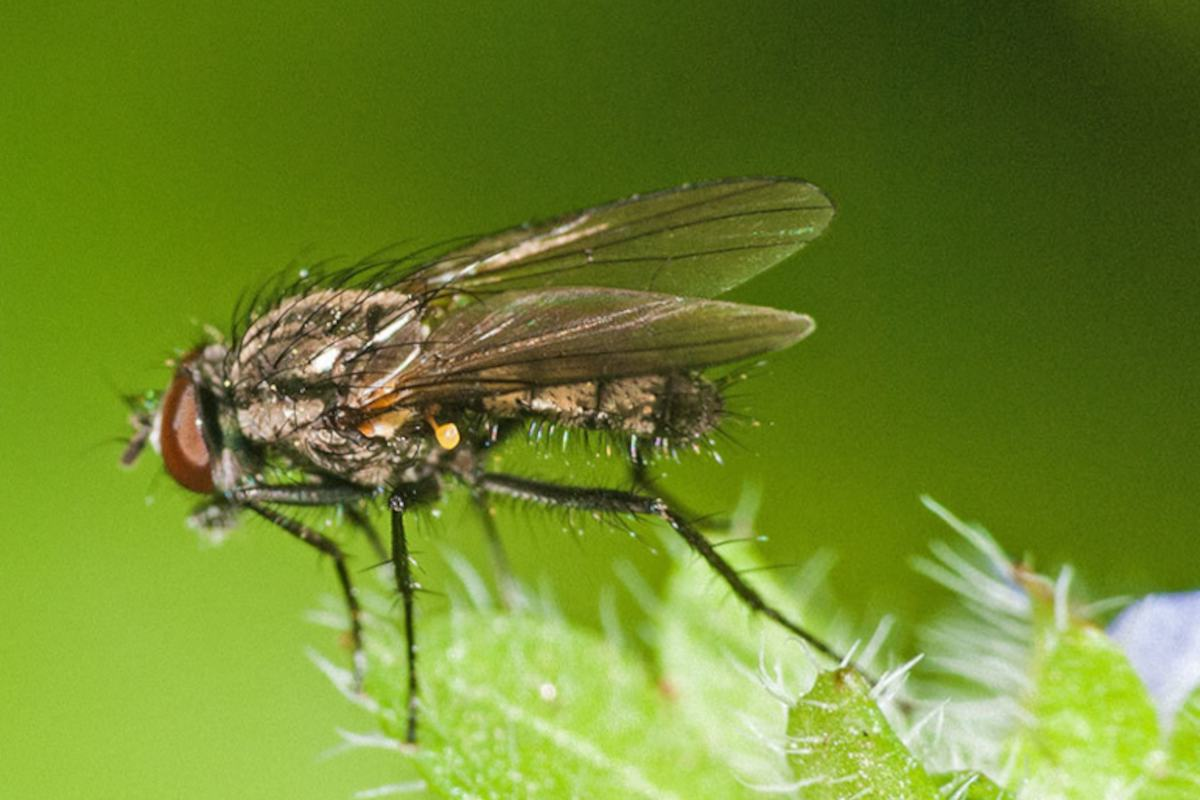 Onion fly