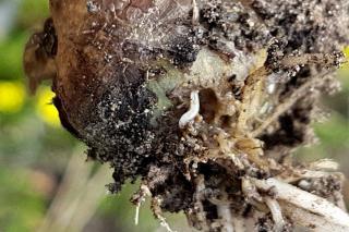 Onion maggot symptoms