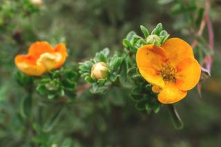 Orange-blooming cinquefoil