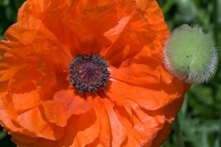 Papaver poppy that is orange