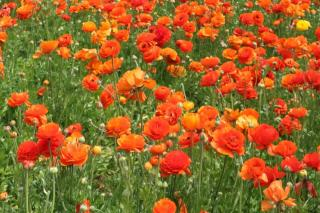 Ranunculus has orange varieties as well