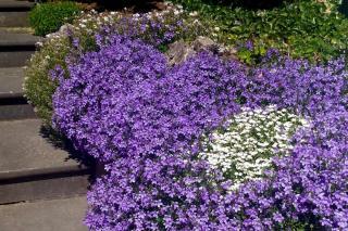 Chalky soil plants include bellflower