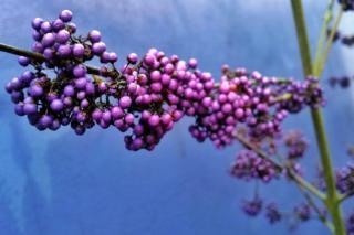 Callicarpa berries are also purple