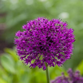 Purple sensation is a garlic variety that is very purple