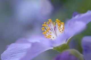 Abutilon, a purple-flowered shrub