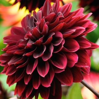 Wine-colored red dahlia
