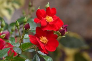 The marondo is a red garden rose for a red garden