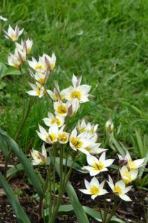 Cluster of botanical tulips called turkestanica