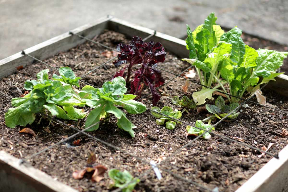 Square-foot vegetable patch