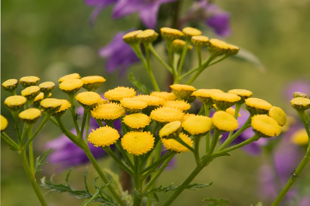 Tansy benefits the garden very much