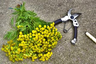 Harvest tansy and bundle it up into a bouquet