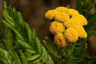 Leaves and flowers of the tansy repel and attract insects