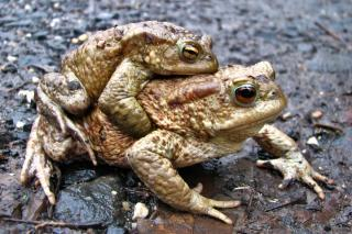 Toads reproducing