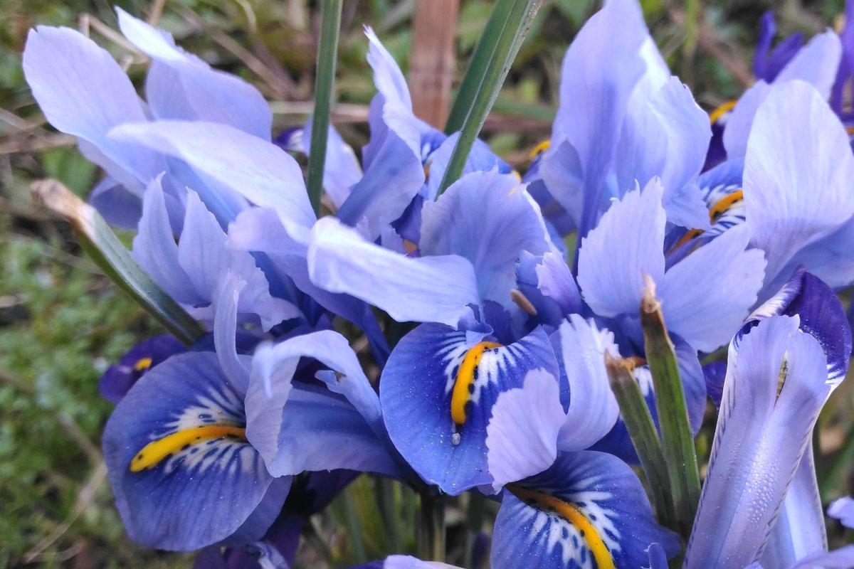 Blue flowers for the garden