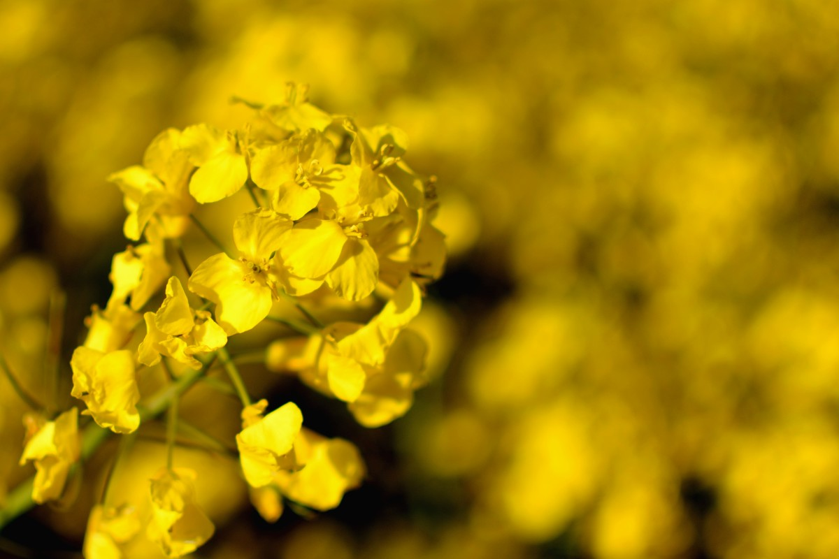 White mustard actually has yellow flowers