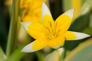Wild tulip blooms with short, cute flowers