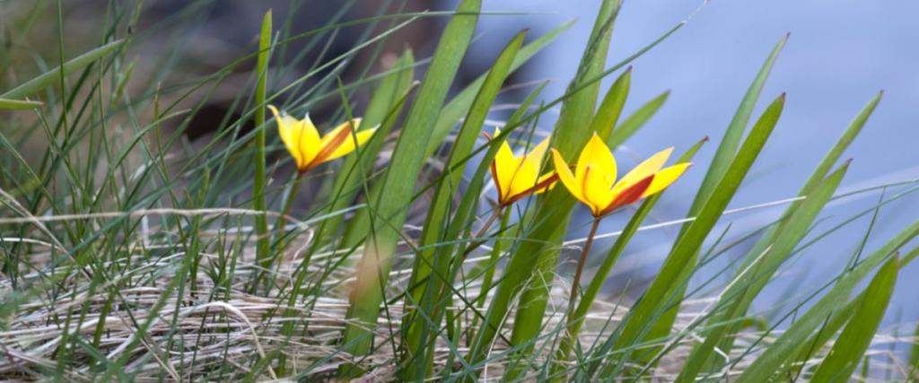 Wild tulip sprouting and blooming in a spring garden