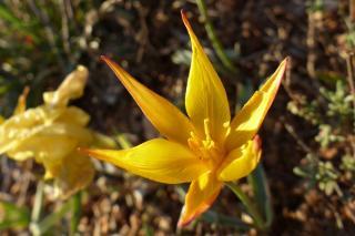 Wild tulip blooming yellow