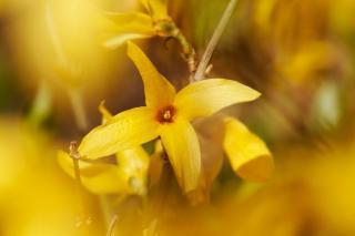 Forsythia blooming in focus