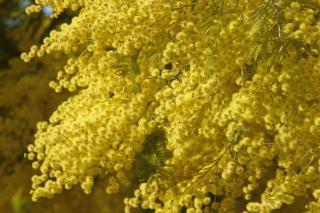 Yellow mimosa blooming