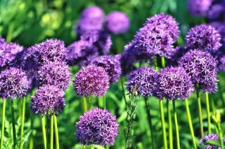 Allium giganteum sprouts in Spring from a bulb