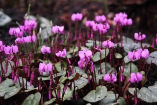 Cyclamen coum, a great spring bloomer