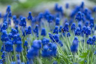 Muscari is a favorite spring bulb