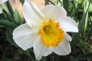 The chantilly narcissus shines