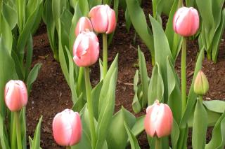 Tulipa x Darwin 'ollioules'